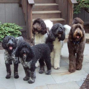 Family Labradoodles and Goldendoodles