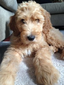 Goldendoodle Breeder in New Hampshire