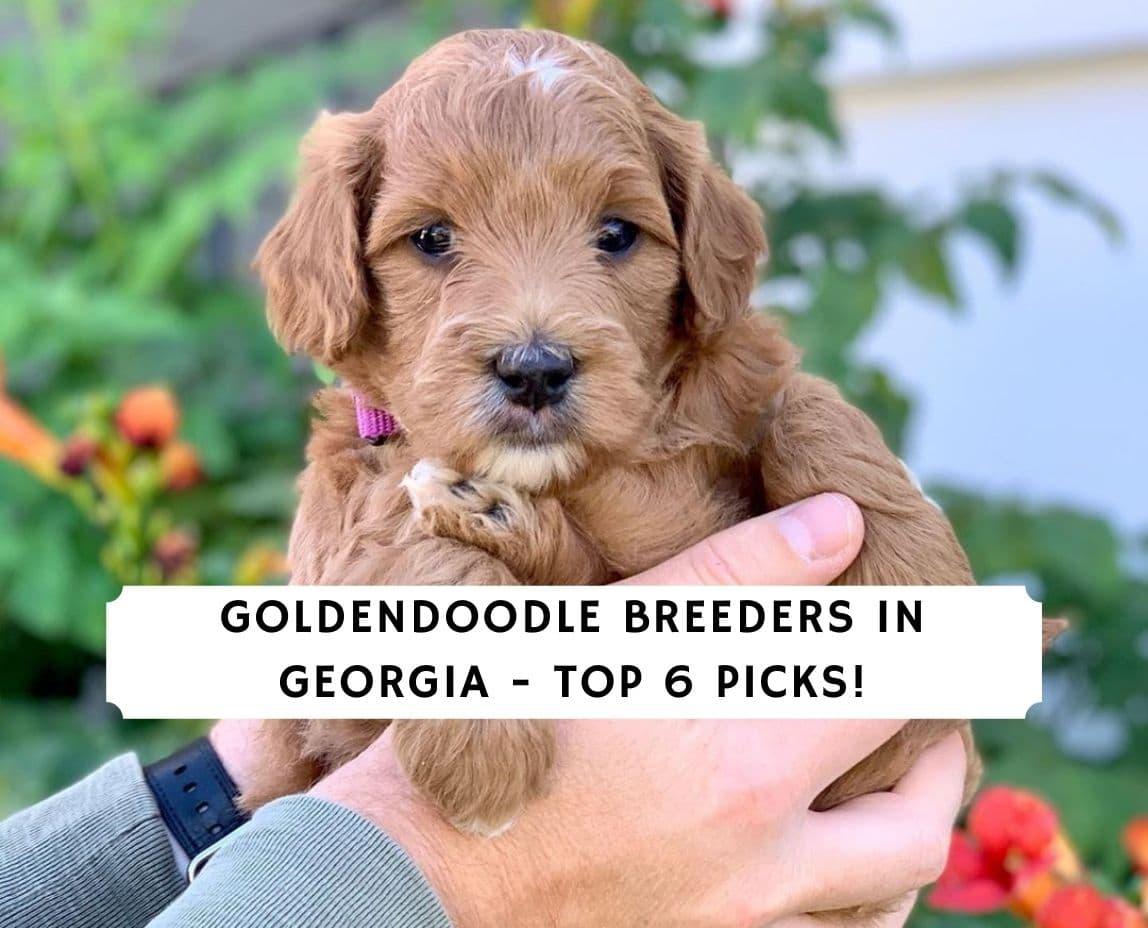 Goldendoodle Breeders in Georgia