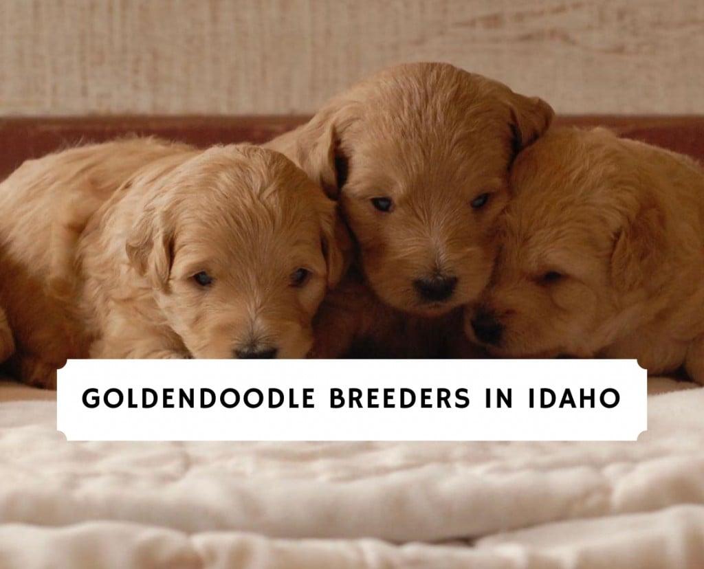 Goldendoodle Breeders in Idaho