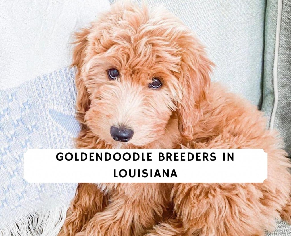 Goldendoodle Breeders in Louisiana