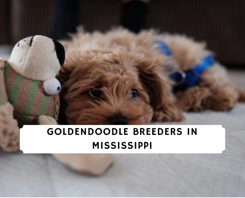 Goldendoodle Breeders in Mississippi