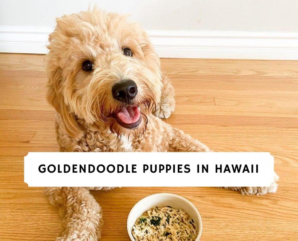 Goldendoodle Puppies In Hawaii