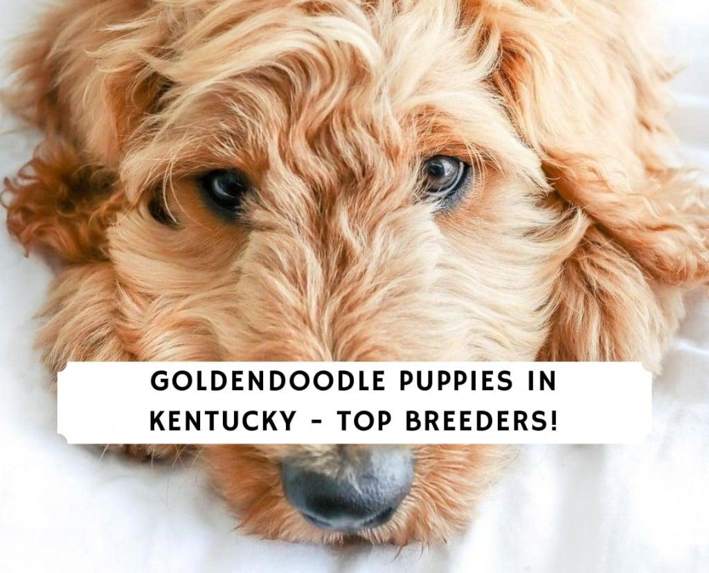 Goldendoodle Puppies In KentuckyGoldendoodle Puppies In Kentucky