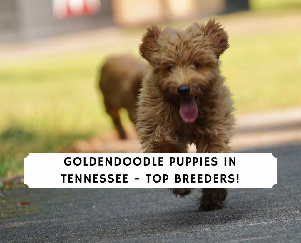 Goldendoodle Puppies In Tennessee