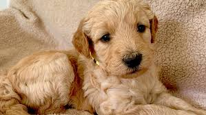 Goldendoodle Puppies Tennessee from Flying Feather Farms