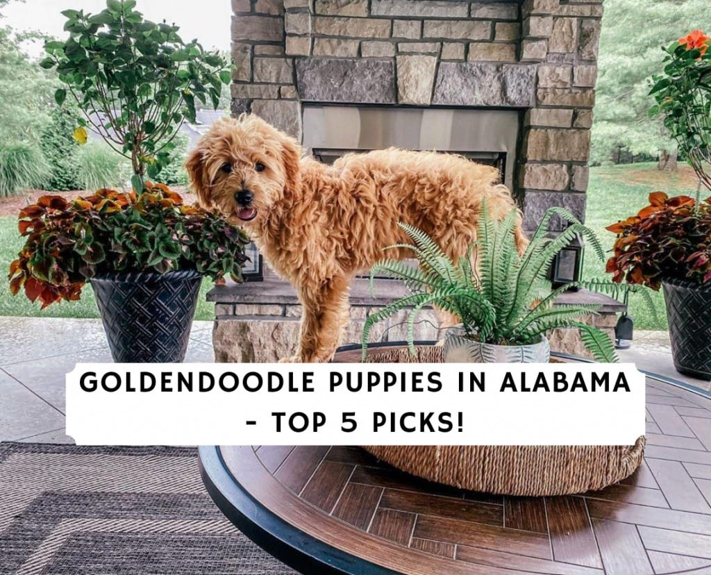 Goldendoodle Puppies in Alabama