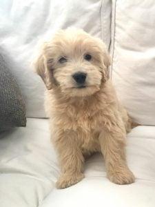 Goldendoodle Puppies Alabama