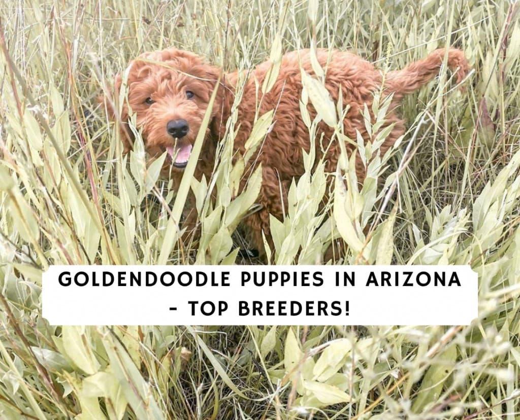 Goldendoodle Puppies in Arizona