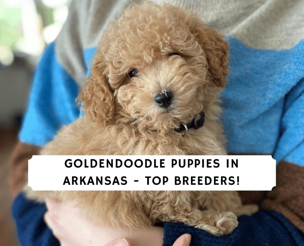 Goldendoodle Puppies in Arkansas