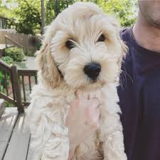 Goldendoodle Puppies for sale Arkansas