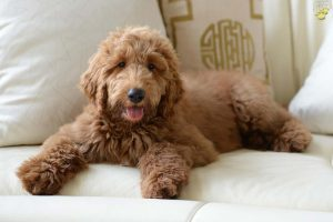 Goldendoodle Puppies in Colorado