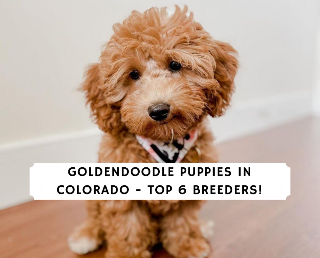 Goldendoodle Puppies in Colorado - Top 6 Breeders!