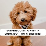 Goldendoodle Puppies in Colorado - Top 6 Breeders!