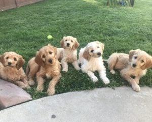 Goldendoodle Puppies Idaho