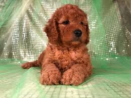 Goldendoodle Puppies in Iowa