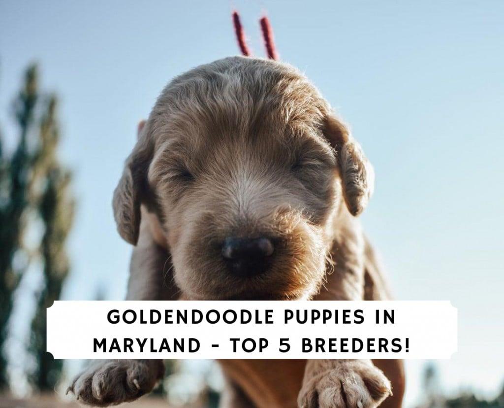 Goldendoodle Puppies in Maryland - Top 5 Breeders!