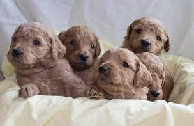 Goldendoodle Puppies in Maryland