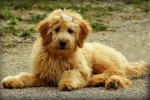Goldendoodle Puppies in Minnesota
