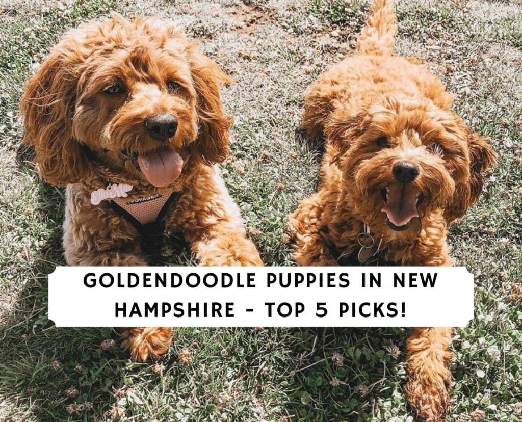 Goldendoodle Puppies in New Hampshire