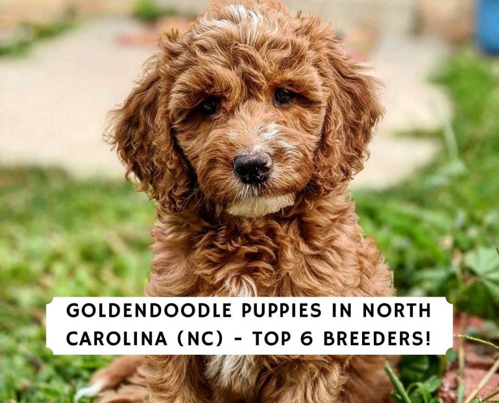 Goldendoodle Puppies in North Carolina (NC)