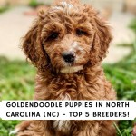 Goldendoodle Puppies in North Carolina (NC) - Top 5 Breeders!