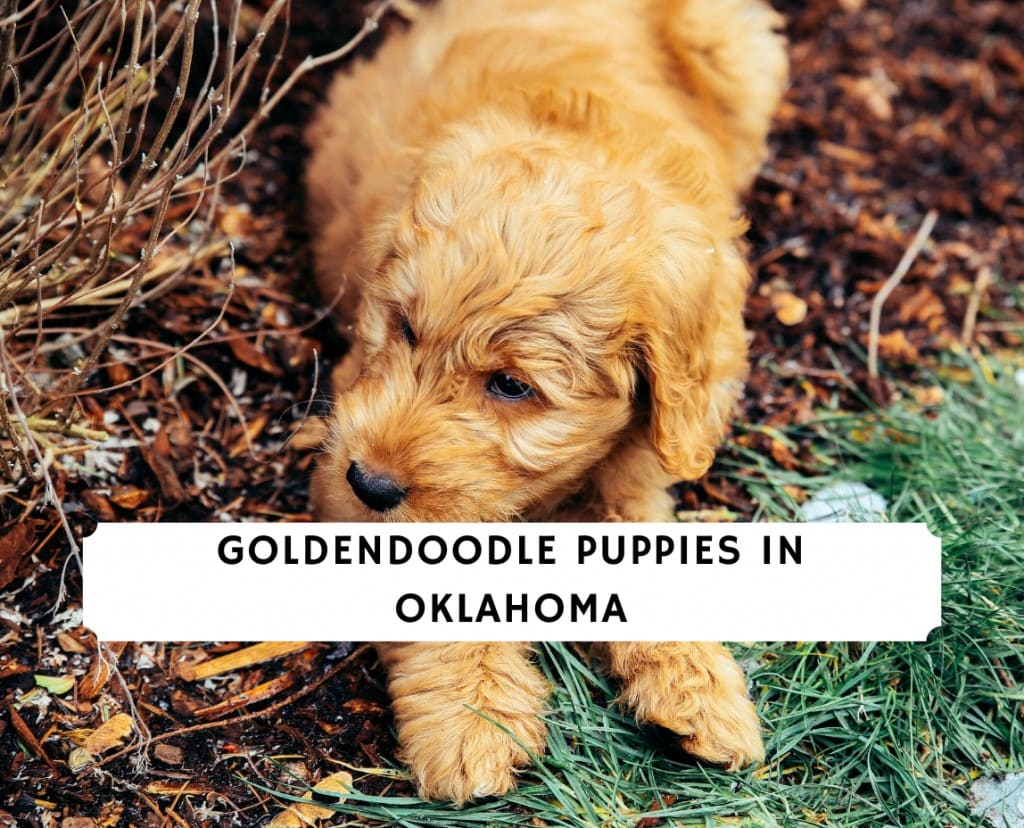 Goldendoodle Puppies in Oklahoma