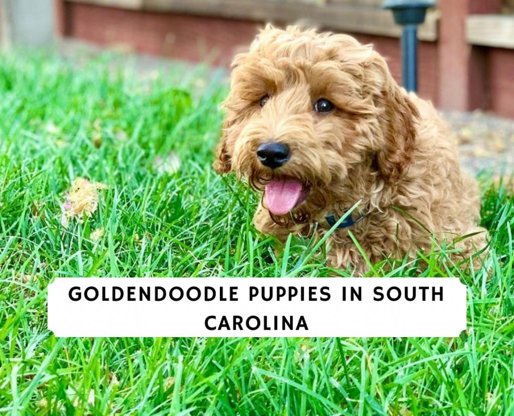 Goldendoodle Puppies in South Carolina