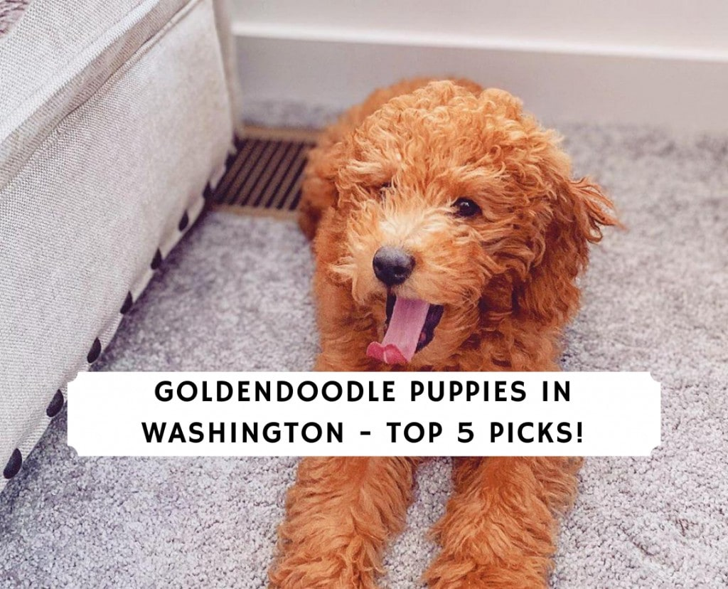 Goldendoodle Puppies in Washington