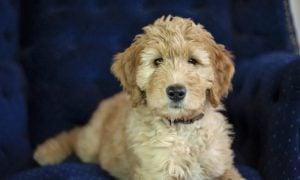 Goldendoodle Puppies Washington
