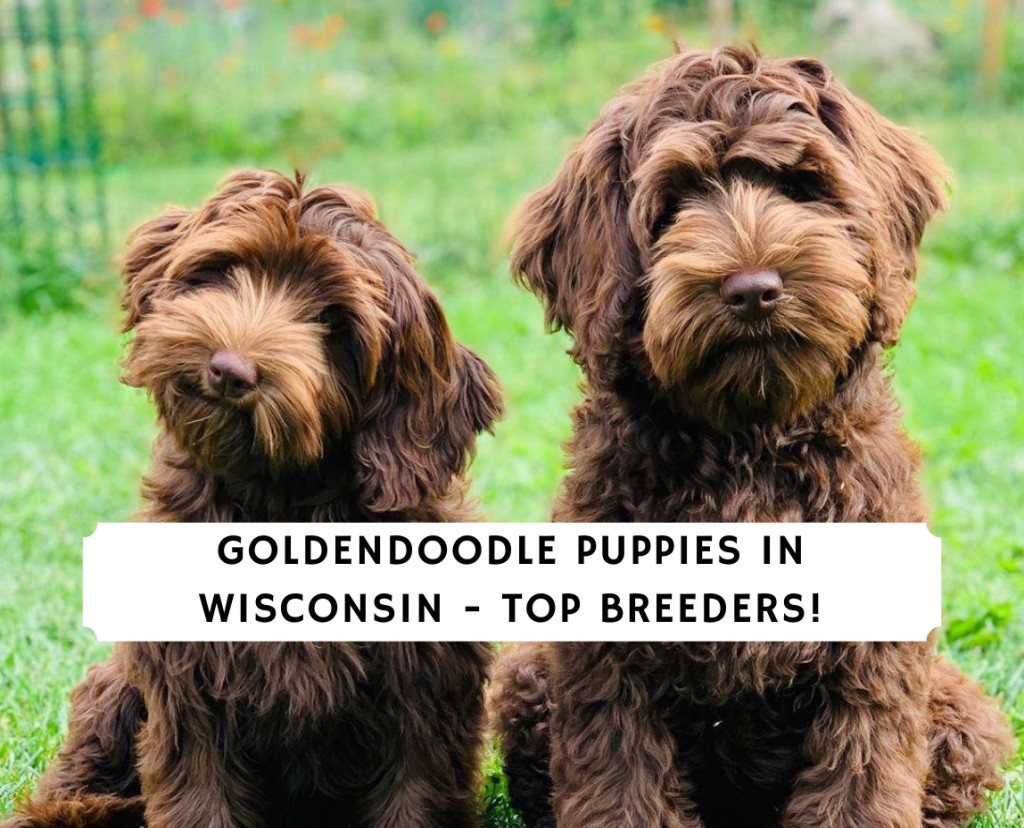 Goldendoodle Puppies in Wisconsin