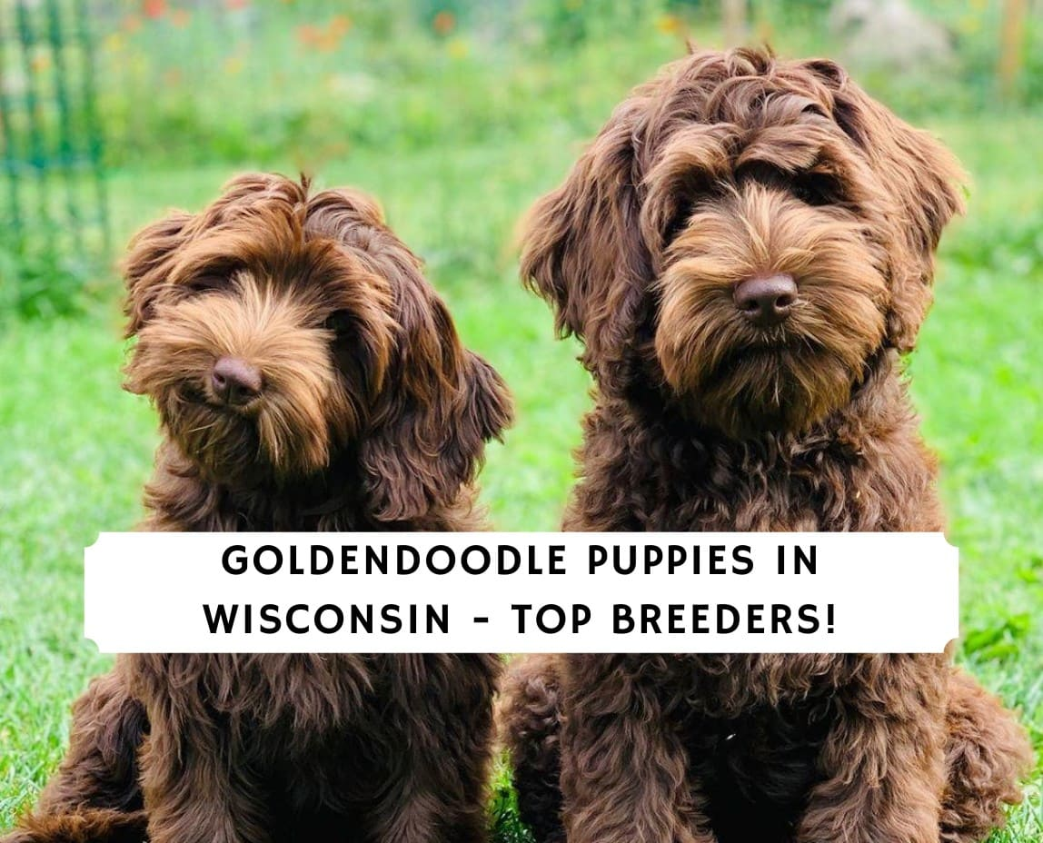 Goldendoodle Puppies In Wisconsin Top 5 Breeders 2021 We Love Doodles