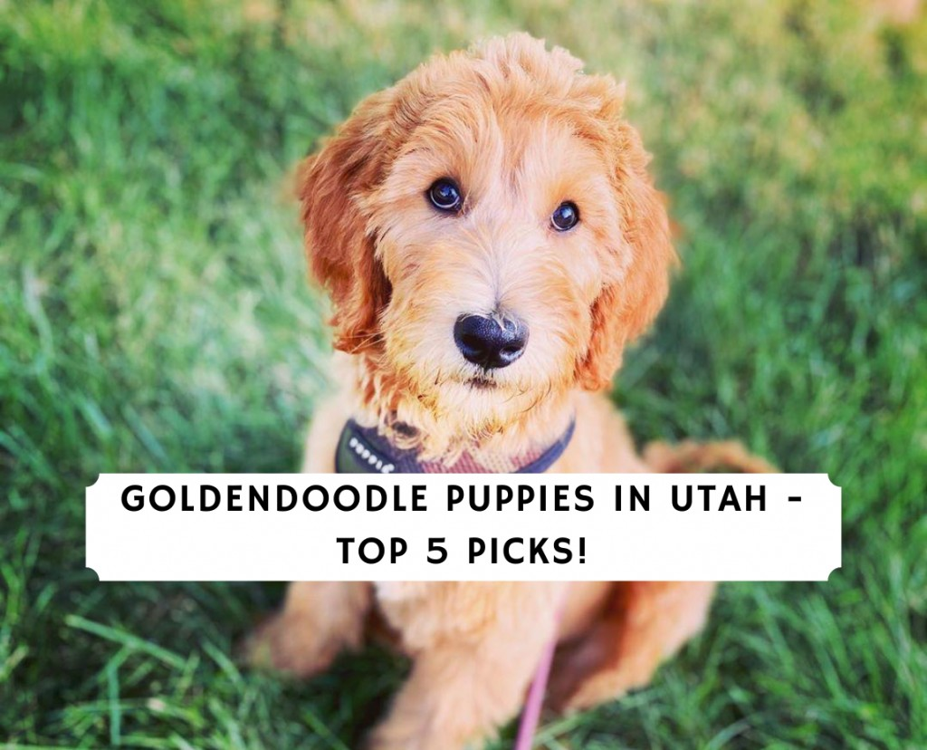 Goldendoodle Puppies in utah