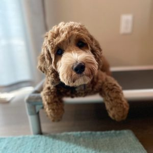 Goldendoodle breeders oregon