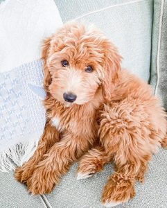 Goldendoodle puppies Louisiana
