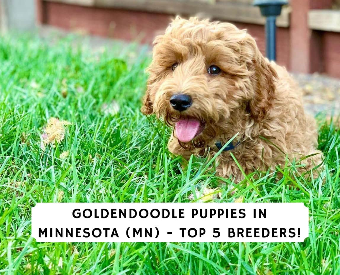 Aussiedoodle for in mn mini sale puppies Western Star