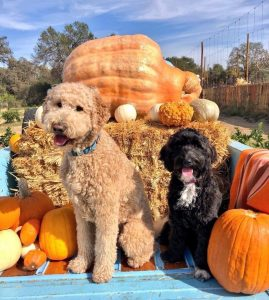 Goldendoodle puppies in Pennsylvania (PA)