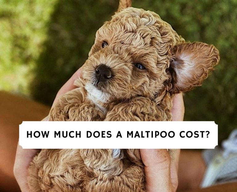 How Much Does A Maltipoo Cost_