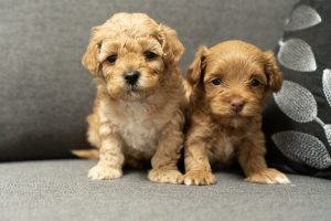 How to choose a Maltipoo puppy online