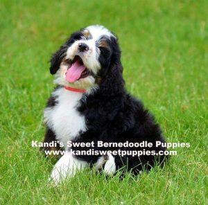 Kandi Sweet Bernedoodles