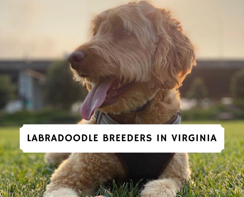 Labradoodle Breeders In Virginia