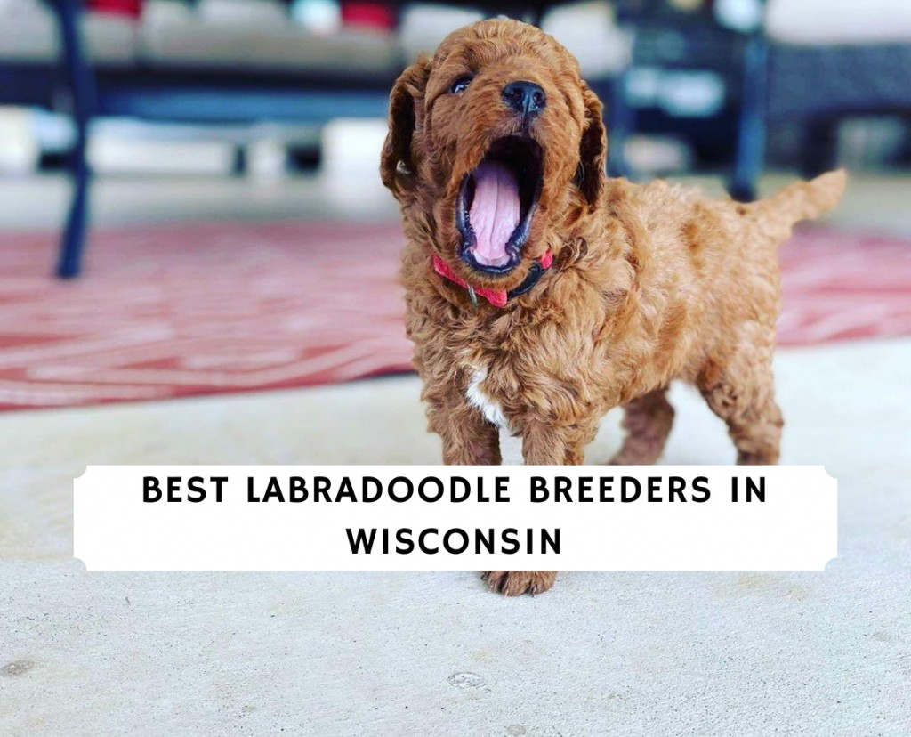 Labradoodle Breeders In Wisconsin