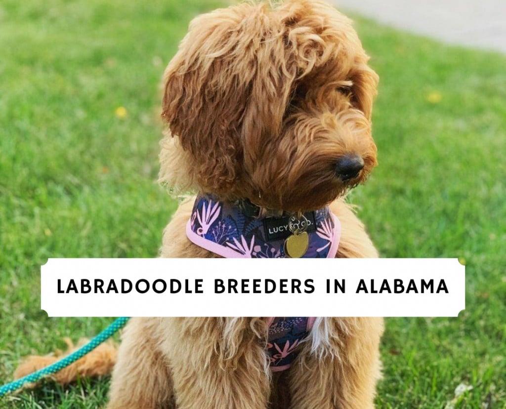 Labradoodle Breeders in Alabama
