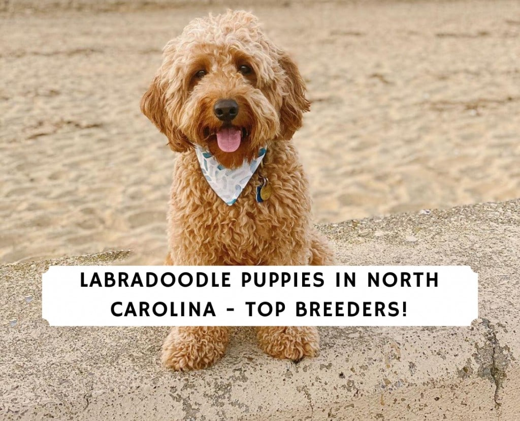 Labradoodle Puppies In North Carolina