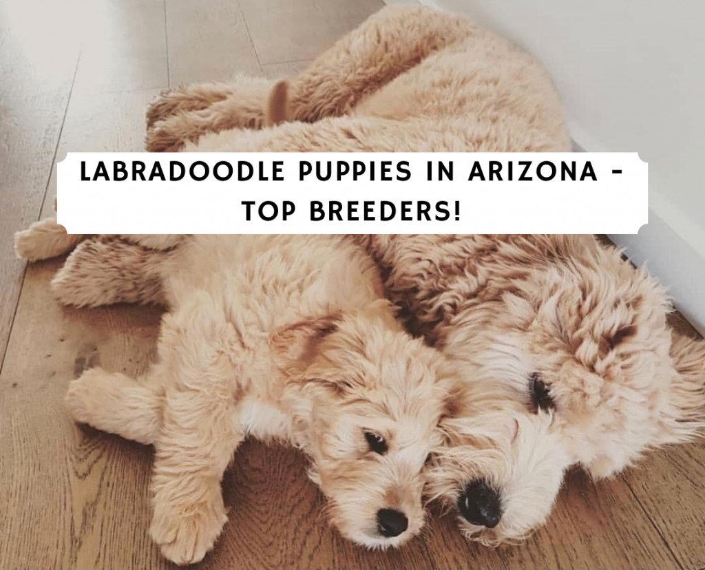 Labradoodle Puppies in Arizona