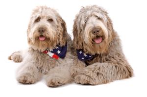 Labradoodle Puppies for sale Arizona