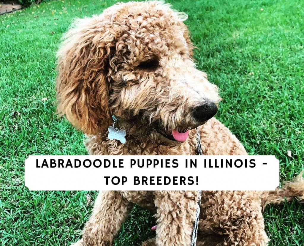 Labradoodle Puppies in Illinois