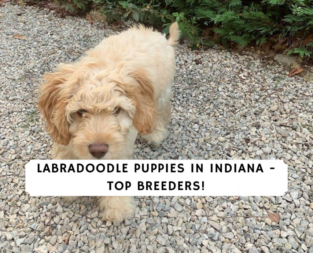 Labradoodle Puppies in Indiana