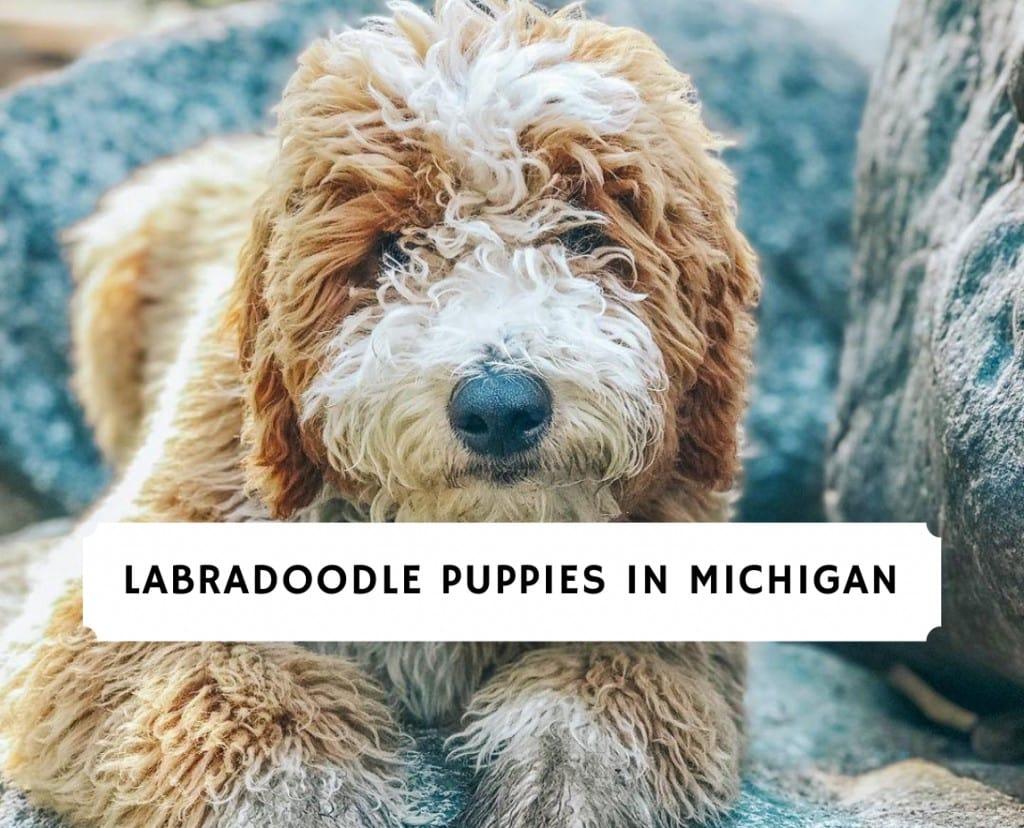 Labradoodle Puppies in Michigan