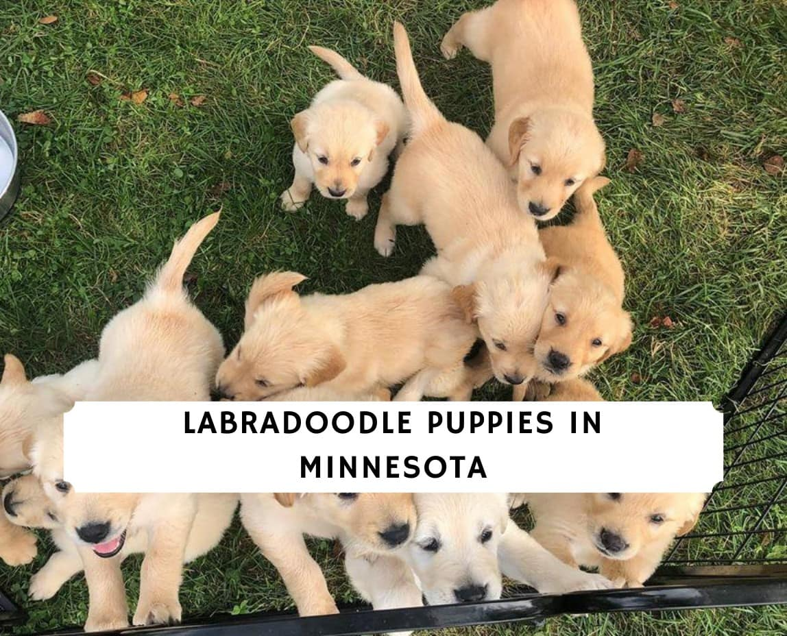 Labradoodle Puppies in Minnesota